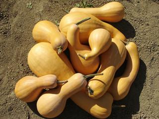 pumpkins crop