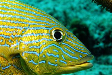 poisson-jaune-lutjan