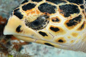 tortue-mer-plongee