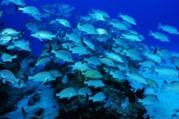 banc-poissons-fish