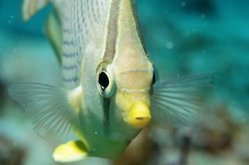 papillon-butterfly-fish