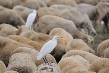 Cattle Egret (Bubulcus ibis) on Sheep's Back