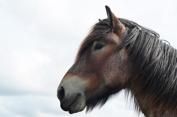 Head of a beautiful brabant draft horse with copy space