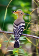 Alone hoopoe sitting at branch, summer day.