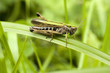 Mały konik polny na trawie, makro pasikonika