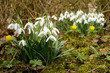 Two groups of snowdrops and some winter aconite