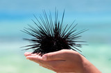 Alive sea urchin lying on the hand poster