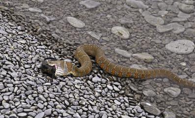 Water snake ingesting fish