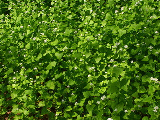 Garlic Mustard (Alliaria petiolata) - Wisconsin