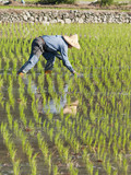 farmer planting paddy rice by organically skill. poster