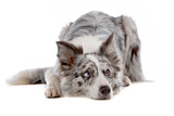 Gray and white border collie dog lying, isolated on  white