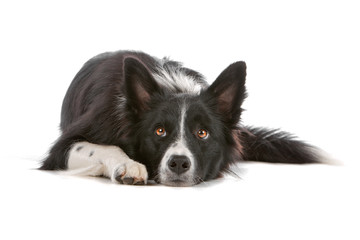 Border collie dog resting, isolated on a white background