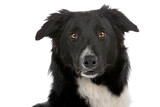 Head of black and white border collie dog