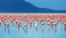 flamingi afrykańskie