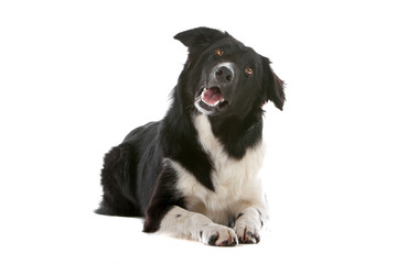 Border collie dog looking  up, isolated on white