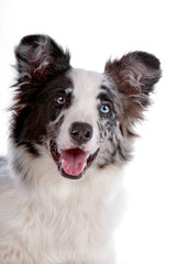 Face of cute border collie dog isolated on white
