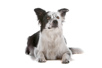 Border collie dog isolated on a white background