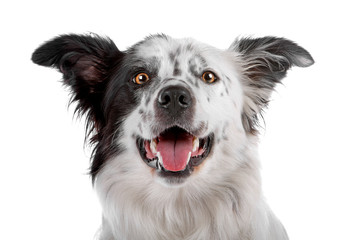 Head of border collie dog isolated on a white background