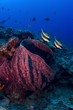 Red Barrel Sponge with two Bannerfish on the reef