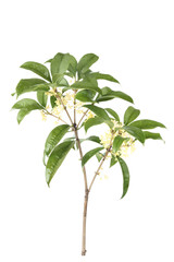 osmanthus branch