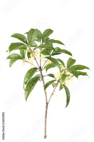 Aluminium Olijfboom osmanthus branch