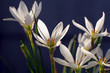 Zephyranthes grandiflora flower