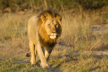 Lion male walking in road
