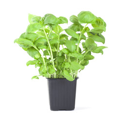 Basil in pot.