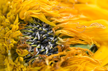 Wilted sunflower petals