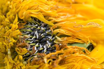 Wilted sunflower petals