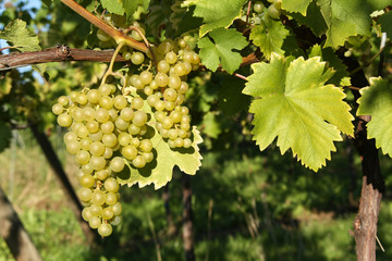 Bunch of  grapes, vine