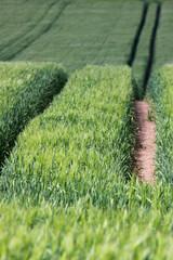 Spur in einem grünen Kornfeld