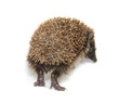 Little hedgehog on white background