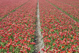Red Tulips field, Netherlands
