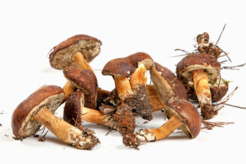 Xerocomus badius mushrooms isolated on white background