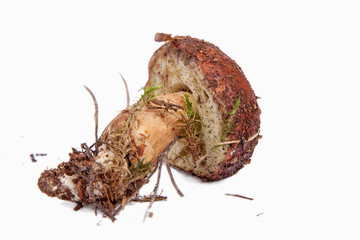 Xerocomus badius mushroom on green grass in the forest