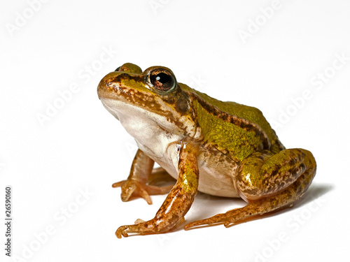 Fotobehang Kikker small green frog on a white background, looking up