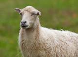 mouton agneau laine blanc animal ferme brebis lait viande poster