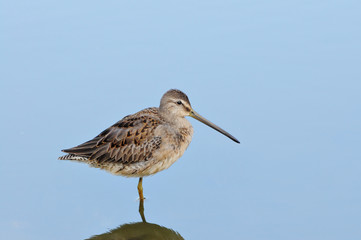 Sandpiper in still water
