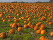 Halloween Pumpkin field background image