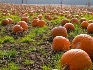 Halloween Pumpkin field background image