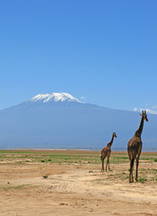 Giraffe  e il Kilimanjiaro