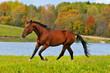 bay horse run gallop