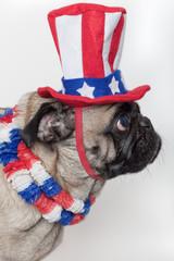 Patriotic American pug dog
