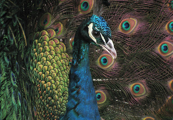 Close up of beautiful peacock,with vibrant colors