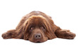 Brown newfoundland dog isolated on white background