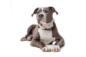 english staffordshire bull terrier isolated on white