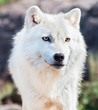 Fototapeta Arktyczny - Dziki - Dziki Ssak