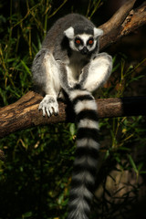 Katta im Zoo Magdeburg