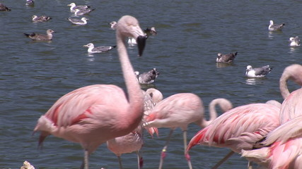 Flamingos in a lake with other birds